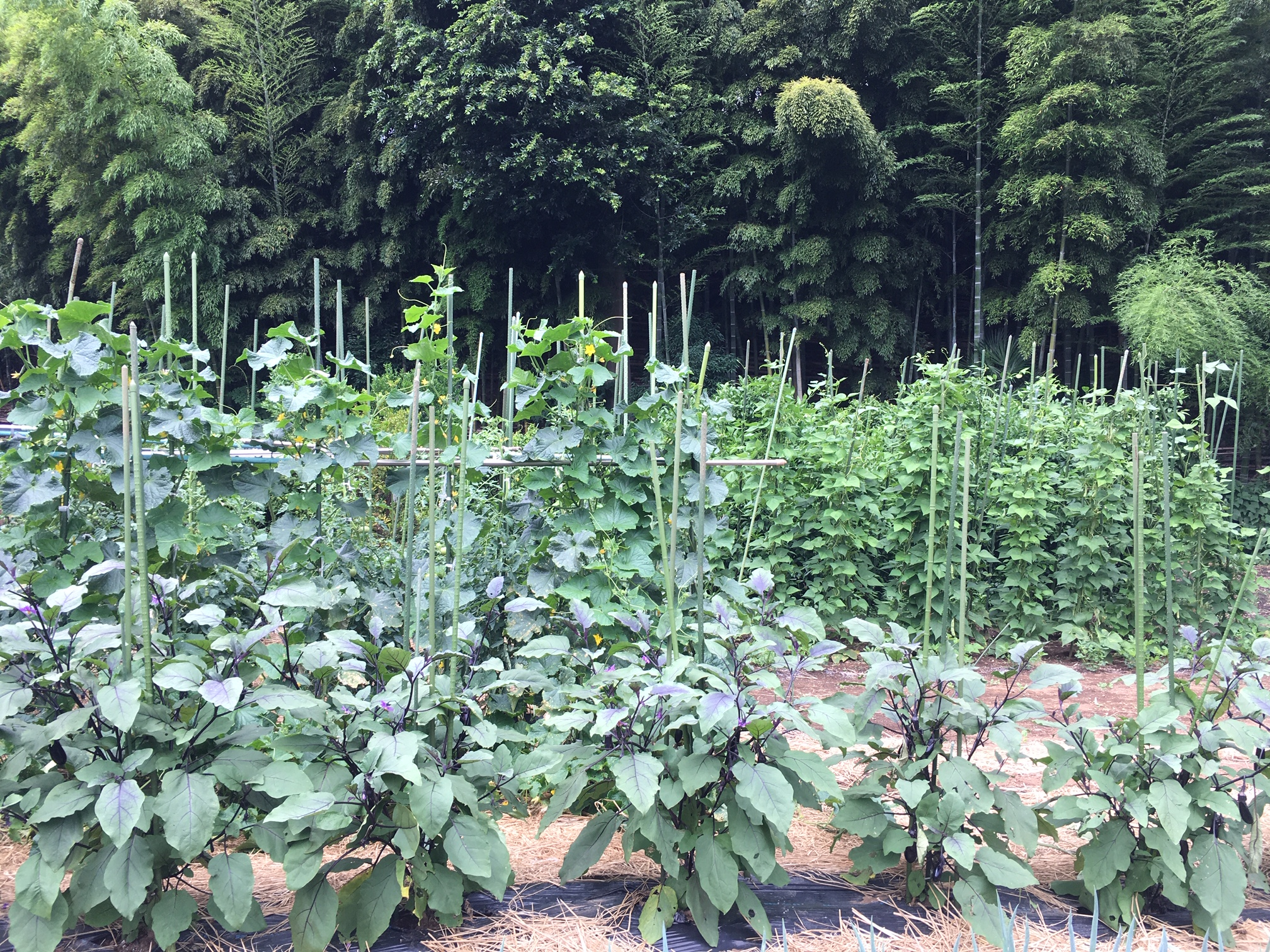 価格高騰しやすい野菜は自給自足しよう!